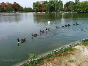 Les cygnes au Bois de Vincennes