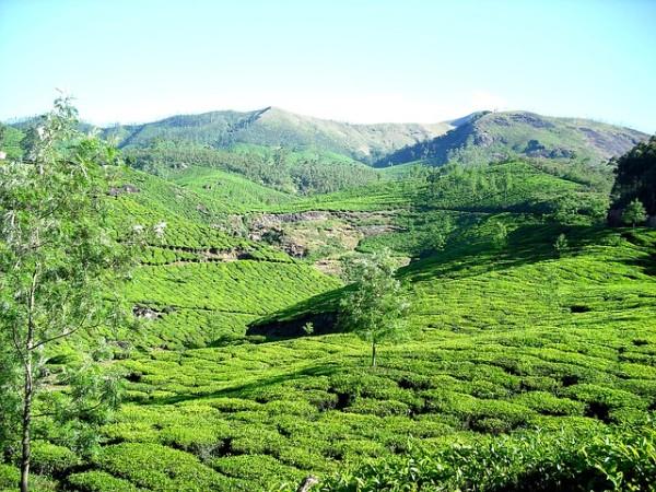 Plantation de thé au Kerala